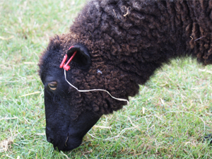 Sheep at family fun day